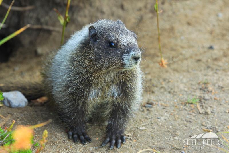 Rainier Marmot