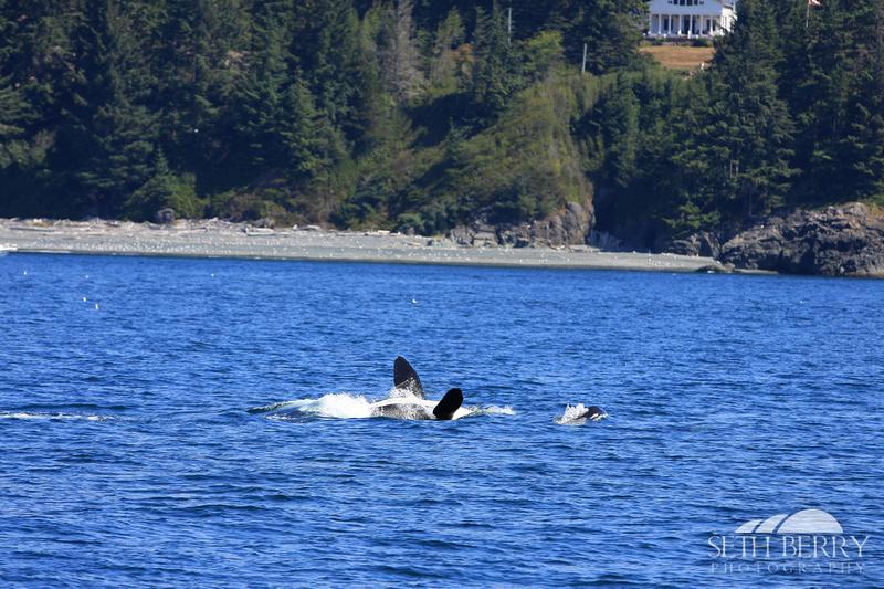 Orca teaching its Calf