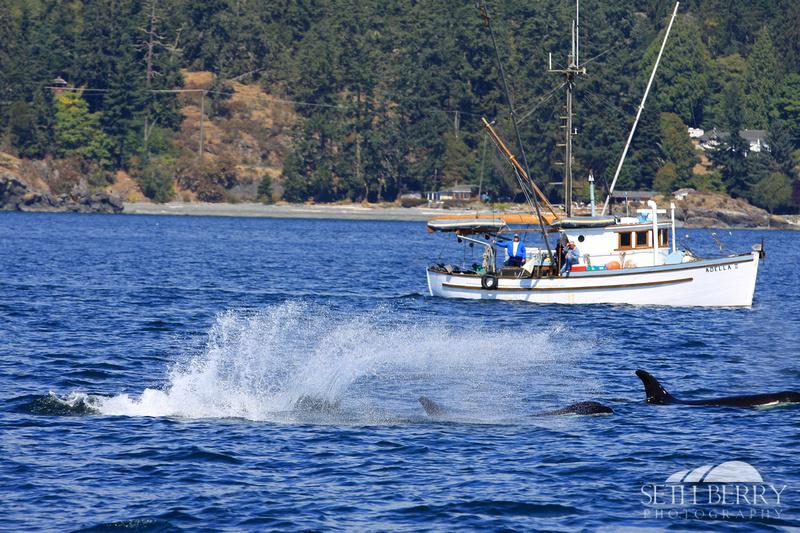 Wild Orcas