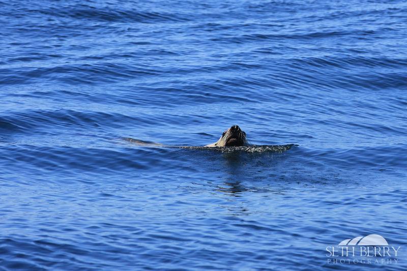 Swimming Sea Lion