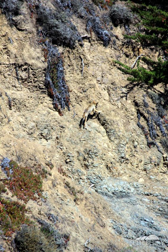 Climbing Coyote