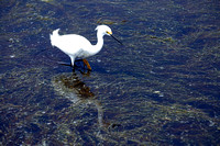 White Egret Hunting