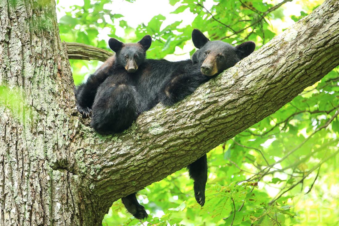 Sleepy Smoky Mountain Bear and Cub