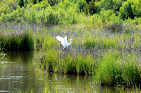 White Egret and Marsh