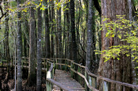 Francis Beilder Forest Boardwalk