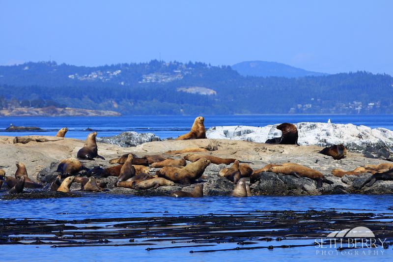 Race Rocks Sea Lions