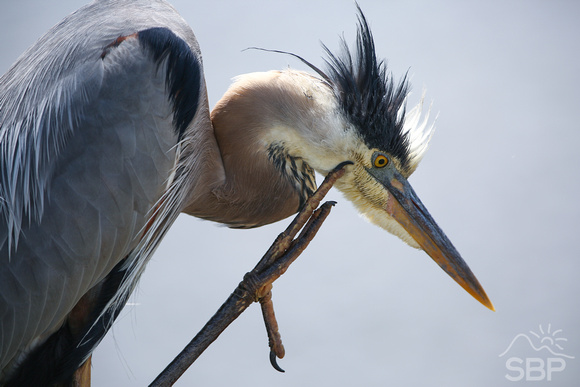 Blue Heron Itch