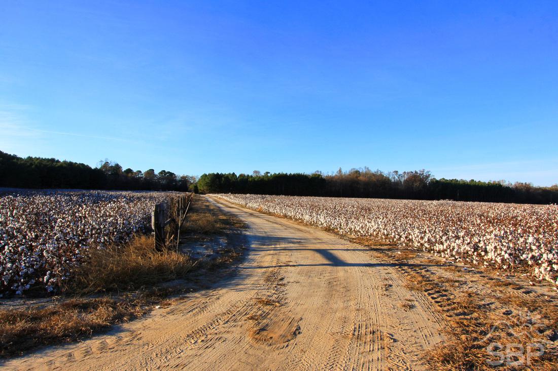 Buck Branch Cotton Field
