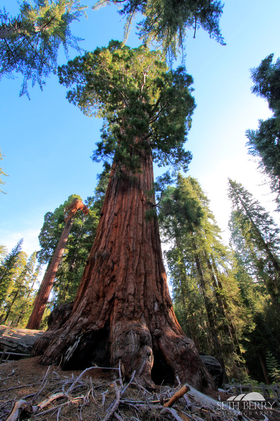 Giant Sequoia, Grant Grove