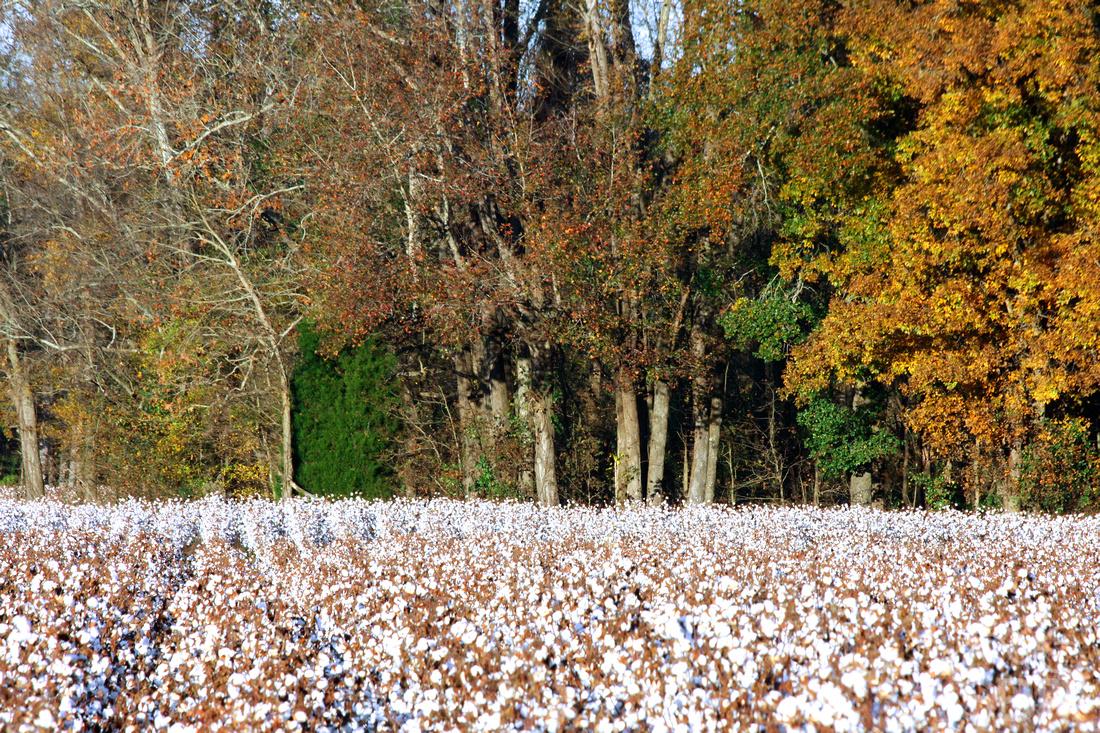 Bowman Cotton