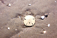 Sand Dollar in the Sand