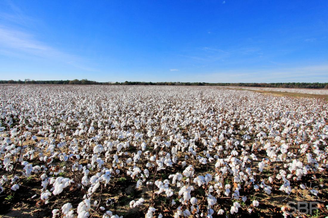 South Carolina Cotton